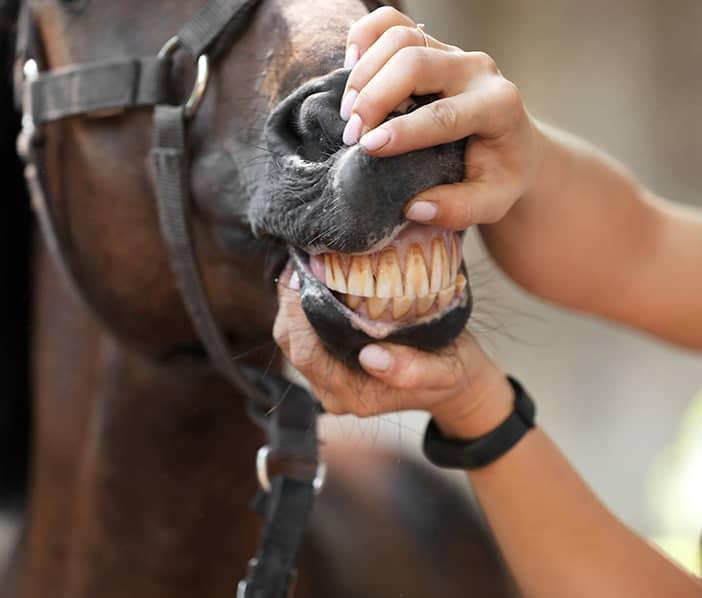 pferde-zaehne